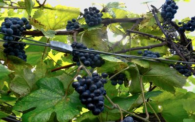 Norton:  America's Oldest Native Grape